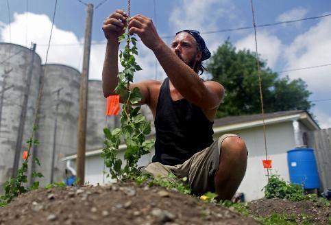 Chris Andrejka training vines in the hops garden, courtesy Star Tribune